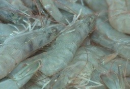Nutriad presents shrimp solutions