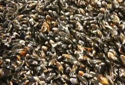 Shellfish production drop