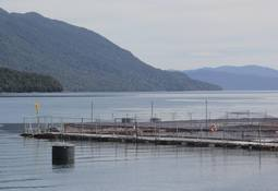 Salmonicultoras buscan blindar ante la FNE plan de salvataje a la industria