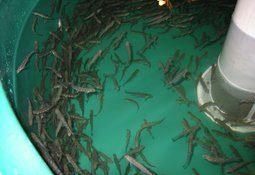 Antilhue: pretenden construir piscicultura de US$ 9 millones