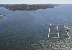 Mortalidad por bloom de algas llega a 3.250 toneladas de salmones
