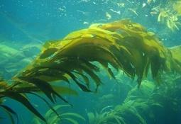Investigadores proponen uso de extracto de algas para controlar episodios FAN