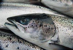 Ayudando a los peces a combatir los piojos de mar