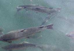 Nueva normativa para reproductores en mar prioriza mejoramiento genético