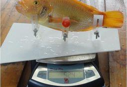 Nueva alternativa para medir y pesar peces