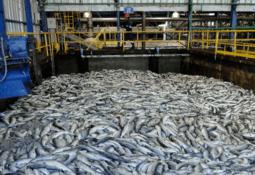 Reportan mortalidad masiva en centros de salmón por bloom de algas
