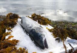Banco advierte caída de 18% en precios de salmón