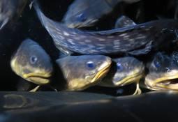 Establecen acuerdo para desarrollar etapas de cultivo de congrio colorado en plataforma abalonera