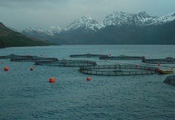 Producción de salmón en Magallanes llegará a límite de 140 mil toneladas