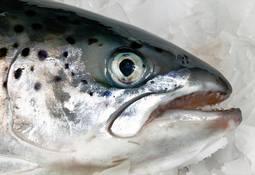 Precio de salmón chileno sigue al alza