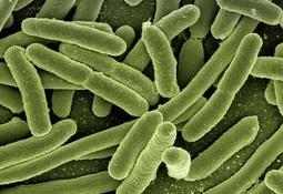 Científicos aíslan nueva cepa de bacteria en trucha arcoíris de Chile