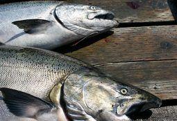 FAO: Consumo y producción de peces de cultivo al alza