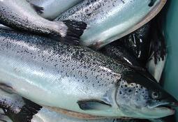 Volumen exportado de salmón Atlántico aumenta en un 7%