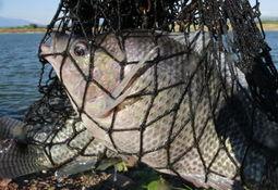 Especialistas en genética de salmón buscan mejorar cultivo de tilapia