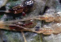 Slakteklar fisk kan øke lusepresset i noen områder fremover