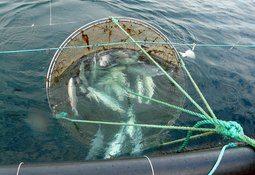 Salmonicultoras activan planes de contingencia ante presencia de microalga
