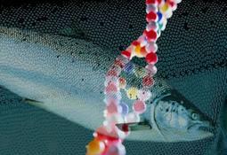 Científicos ahondan en características del salmón GM
