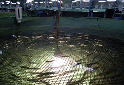 Grilse de salmón Atlántico en sistemas RAS