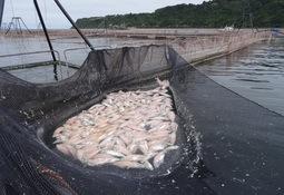 Sólo 23% de los peces muertos podrán ser arrojados al mar