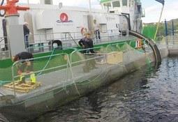 Tripulantes que sacan mortalidad de salmones temen por su salud