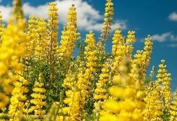 Cargill y cooperativas mapuche se unen para potenciar producción de lupino
