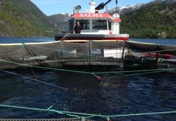 'Push-cage' tests salmon readiness for wilder water