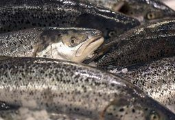 Sea lice threat to wild salmon smolt 'mainly low'