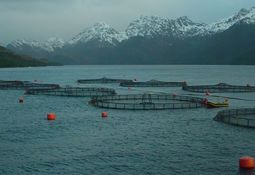 Salmon production poised to double in south Chile