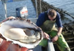 Genetic solution to lethal oyster disease