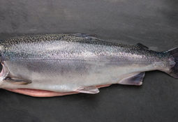 Algae-fed coho salmon hits shelves