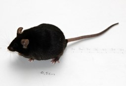Fiskeolje fører til mindre miljøgift hos mus