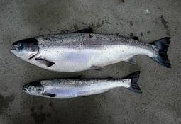 Unntak fra forbud om å sette PD-syk fisk i slaktemerd forlenges ikke