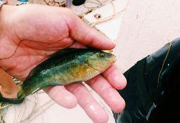 - Rømt leppefisk kan påvirke lokale bestander