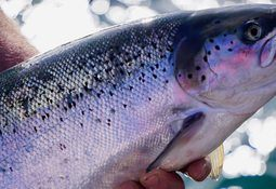 Scottish salmon found to have more omega-3