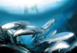 GSI destaca bajo índice de FCR en salmón Atlántico