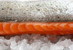 Precio de salmón noruego sobrepasa los US$9 /kg