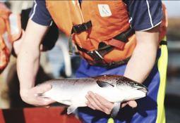 Prevén caída en producción de salmón escocés para este año