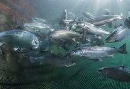 Betydelige mengder algeolje til fôrbruk underveis