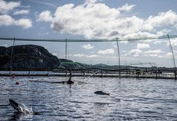 Suministro de salmón de cultivo llegó a las 2,2 millones de toneladas en 2017