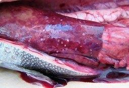 Taller abordará resultados de programa de vigilancia a la resistencia bacteriana en la salmonicultura nacional