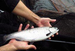 Abril: Cosechas de salmón coho aumentan en 25%