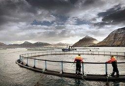 Bakkafrost harvests 12,900 tonnes in Q2