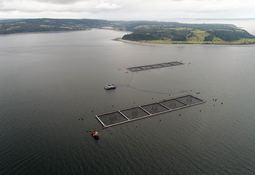 Marine Harvest pide prórroga de 30 días para recaptura de salmones