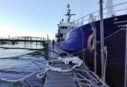 Cerca de 250 mil peces han sido rescatados de centro de Marine Harvest