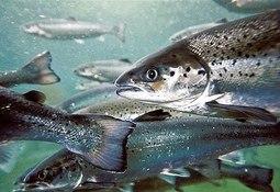 Multisindical de trabajadores salmoneros en contra de legalizar la pesca de salmonídeos