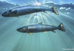 Nytt forskningsprosjekt: Hva skjer med villaksen i havet?