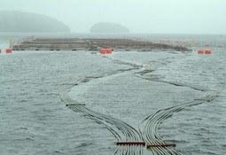 Biobío: Subpesca desafecta áreas para cultivo de salmónidos