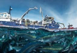 Ronia Diamond: Primera cosecha del wellboat más grande de Solvtrans Chile