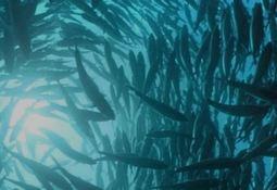 Instalarán cultivo de salmón Atlántico en el norte de España