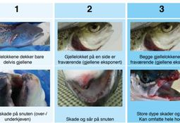 English version of hit Norwegian fish welfare manual 'coming soon'